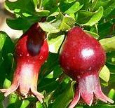 Pomegranate Fruit Extract